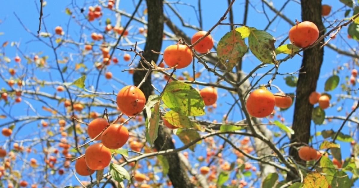 柿の木を剪定方法を解説!タイミングと方法・収穫のための作業も