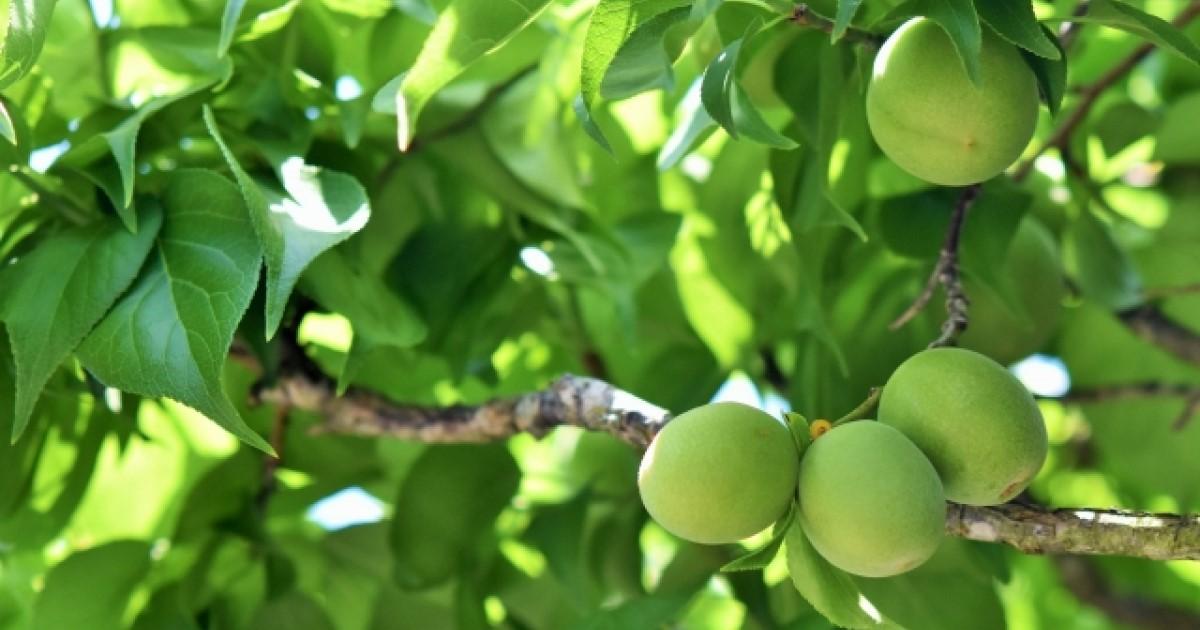 南高梅剪定の仕方|実を収穫するには手入れが必須!元気に育てるコツ