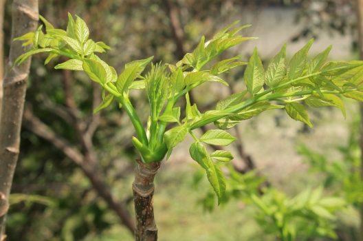 タラの木強剪定|正しい方法で収穫量アップ!基本の育て方・水耕栽培