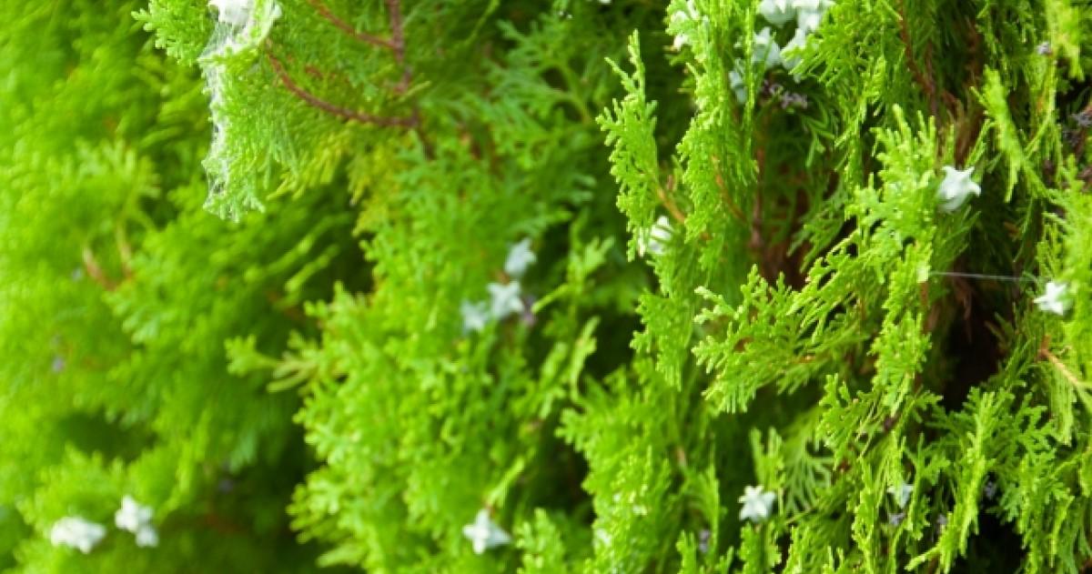 コノテガシワ剪定|芽がつく前の時期がベスト・手入れ・害虫・育て方
