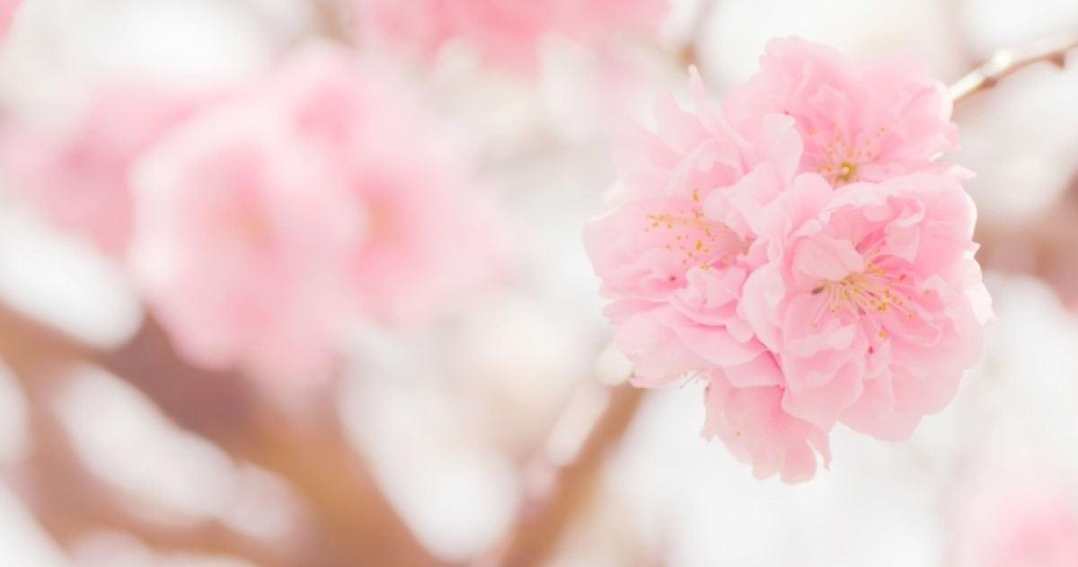 花桃の木 剪定の失敗で花が咲かない?正しい方法や基本の育て方解説