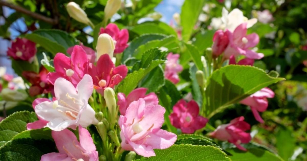 ハコネウツギの剪定|開花させるなら時期が重要!正しい手入れも解説