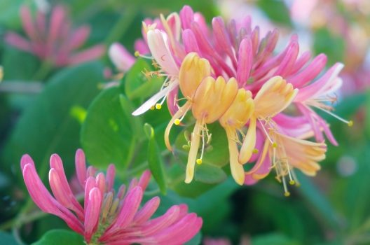 ツキヌキニンドウの剪定・誘引|花を美しく長く楽しむためのお手入れ