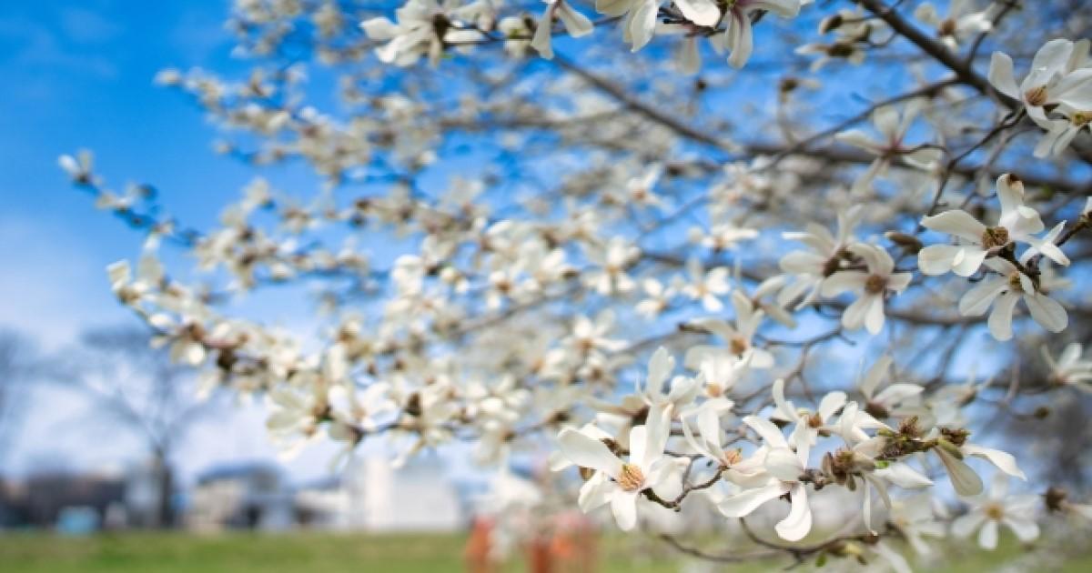 コブシの剪定|毎年花を咲かせるために必要?育て方・手入れ・病害虫