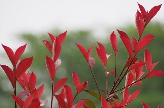 ベニカナメモチは生垣に最適!鮮やかな赤色の新芽を存分に楽しむ方法