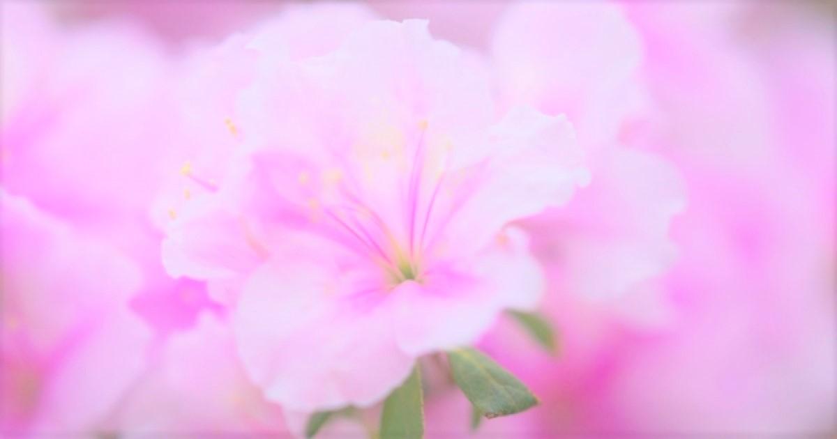 アザレアの剪定は開花後に!キレイな花を咲かせる方法を紹介します