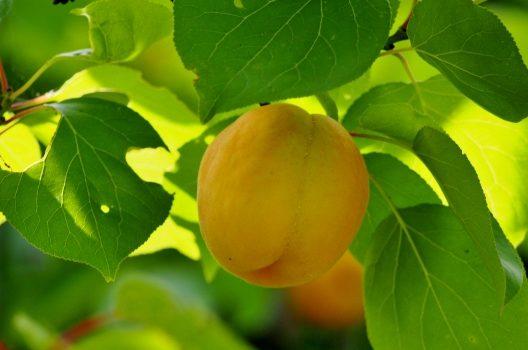 剪定ポイント1:杏の実を楽しむには