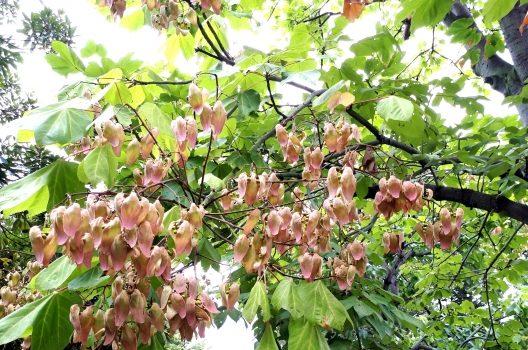 アオギリはどんな木?