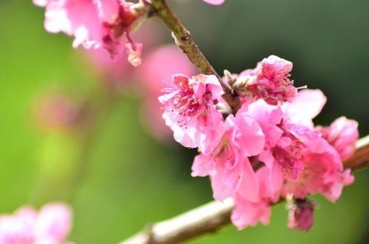 花桃の木|基本の育て方をマスターしてきれいな花を咲かせよう