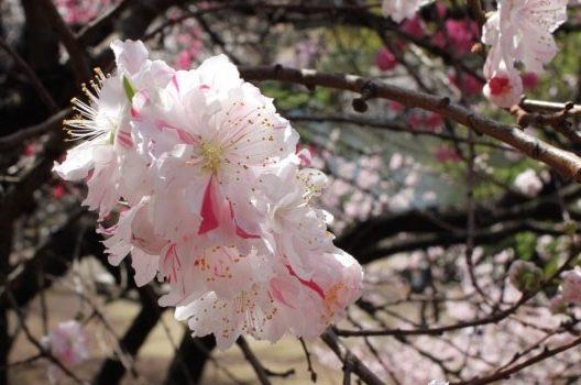 花桃の木剪定|間違った方法で花が咲かなくなることもある