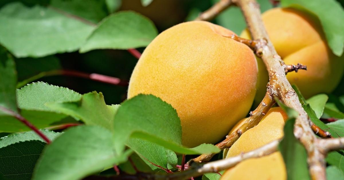 杏の木剪定【目的別】ポイントを解説!正しく育てて花・実を楽しもう