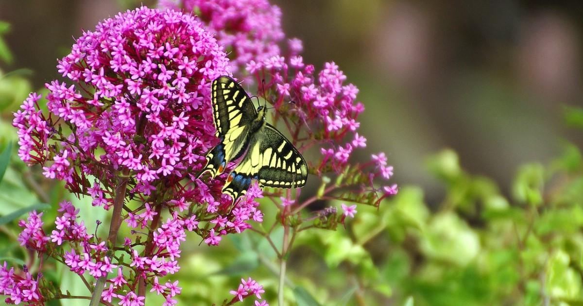 ブッドレアの剪定・育て方|蝶が集うイングリッシュガーデンにしよう