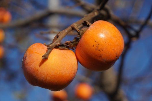 なぜ柿の木を剪定するのか?