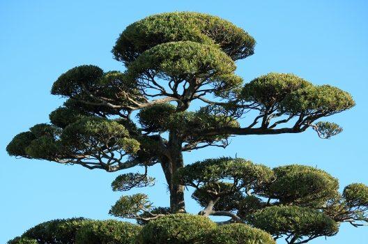 ラカンマキの剪定方法は、庭木か生垣かによって異なる?
