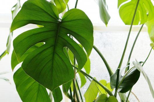 観葉植物を剪定するとおきる効果
