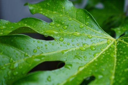 ヤツデの葉っぱは魅力的