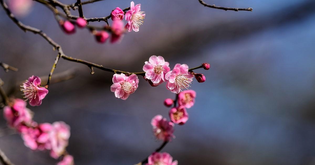 梅の剪定は毎年こまめに!剪定の時期と落とす枝のポイントを解説